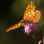 Schmetterling_B_by_Angelika Wolter_pixelio.de