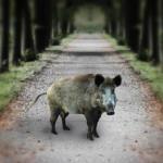 Schwein in Allee_by_Denise_pixelio.de