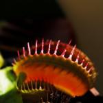 Fleischfressende Pflanze_web_R_by_H.D.Volz_pixelio.de