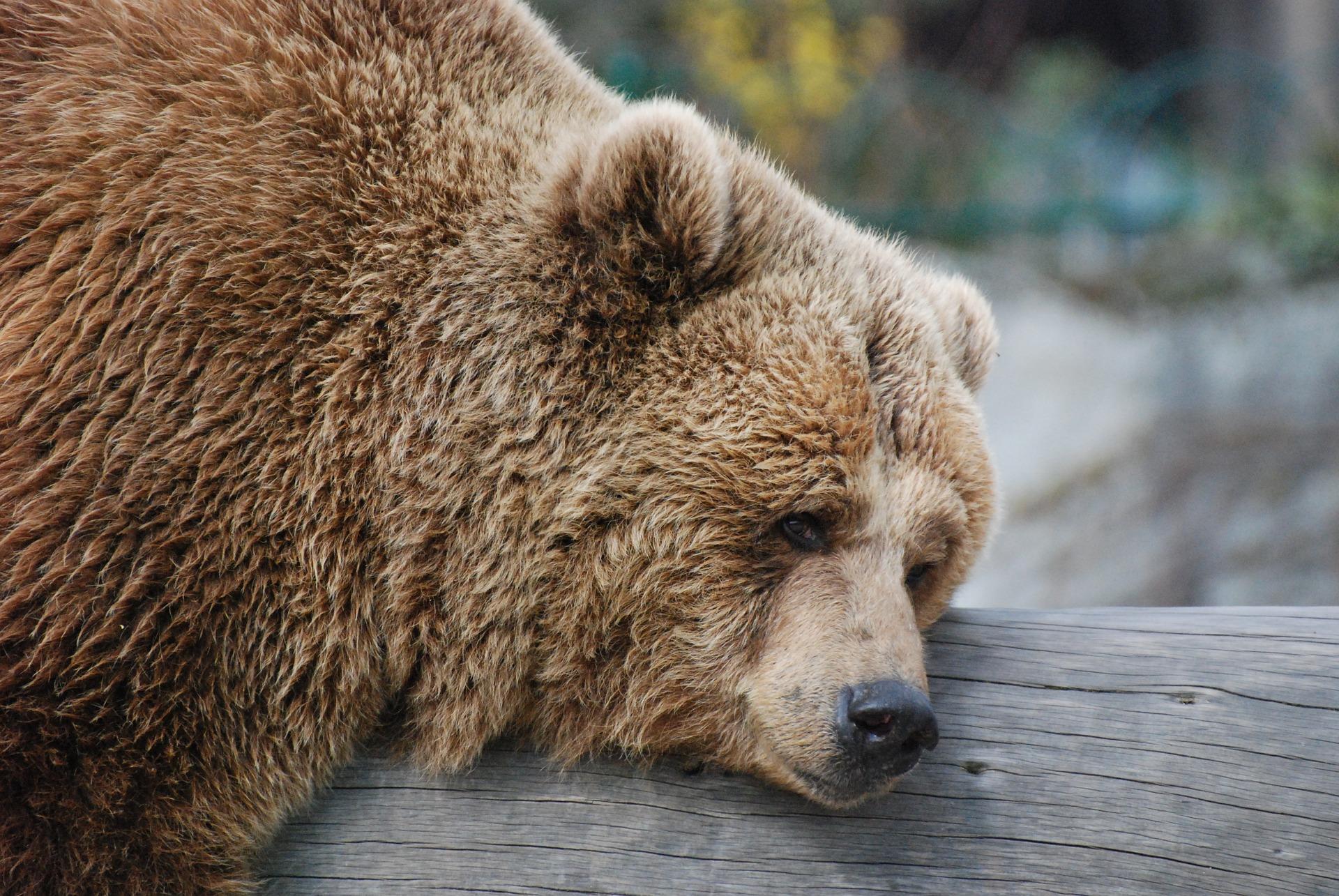bear-711061_1920_pixabay